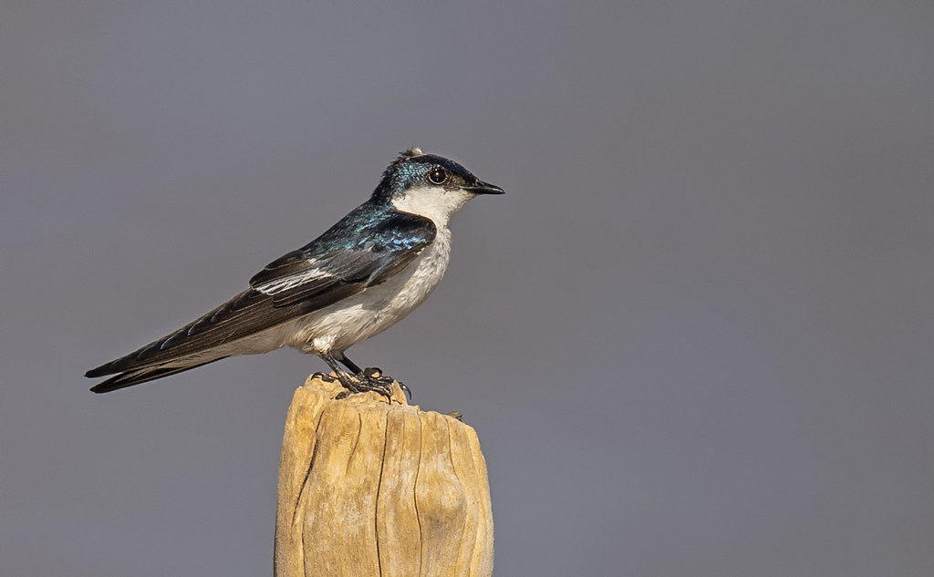 Tachycineta albiventer - White-winged Swallow - Golondrina Aliblanca 02