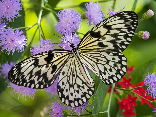Paper Kite Butterfly -Idea leuconoe- nectaring on Quechualia fulta, Wings of the Tropics, Fairchild Tropical Botanic Garden.