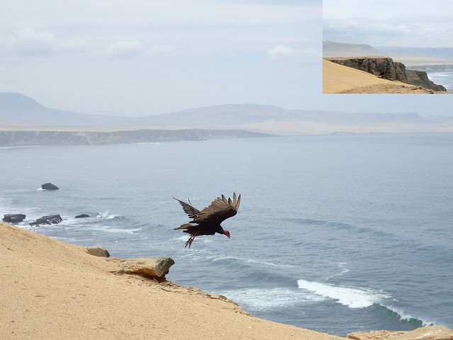 Yumarque Soaring. Turkey Vulture, Carthartes aura, Paracas, Peru