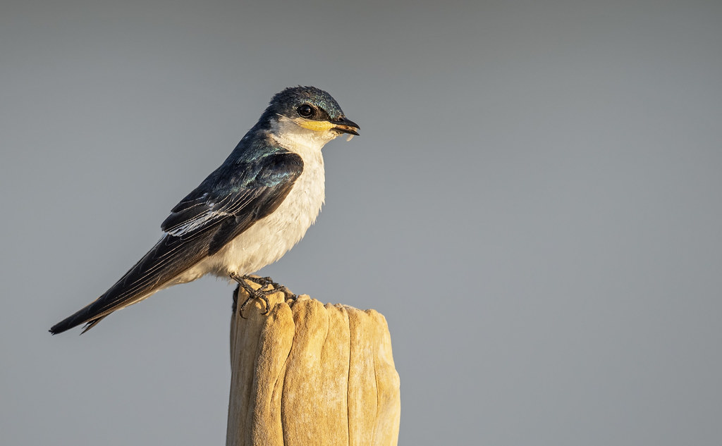 Tachycineta albiventer - White-winged Swallow - Golondrina Aliblanca 03