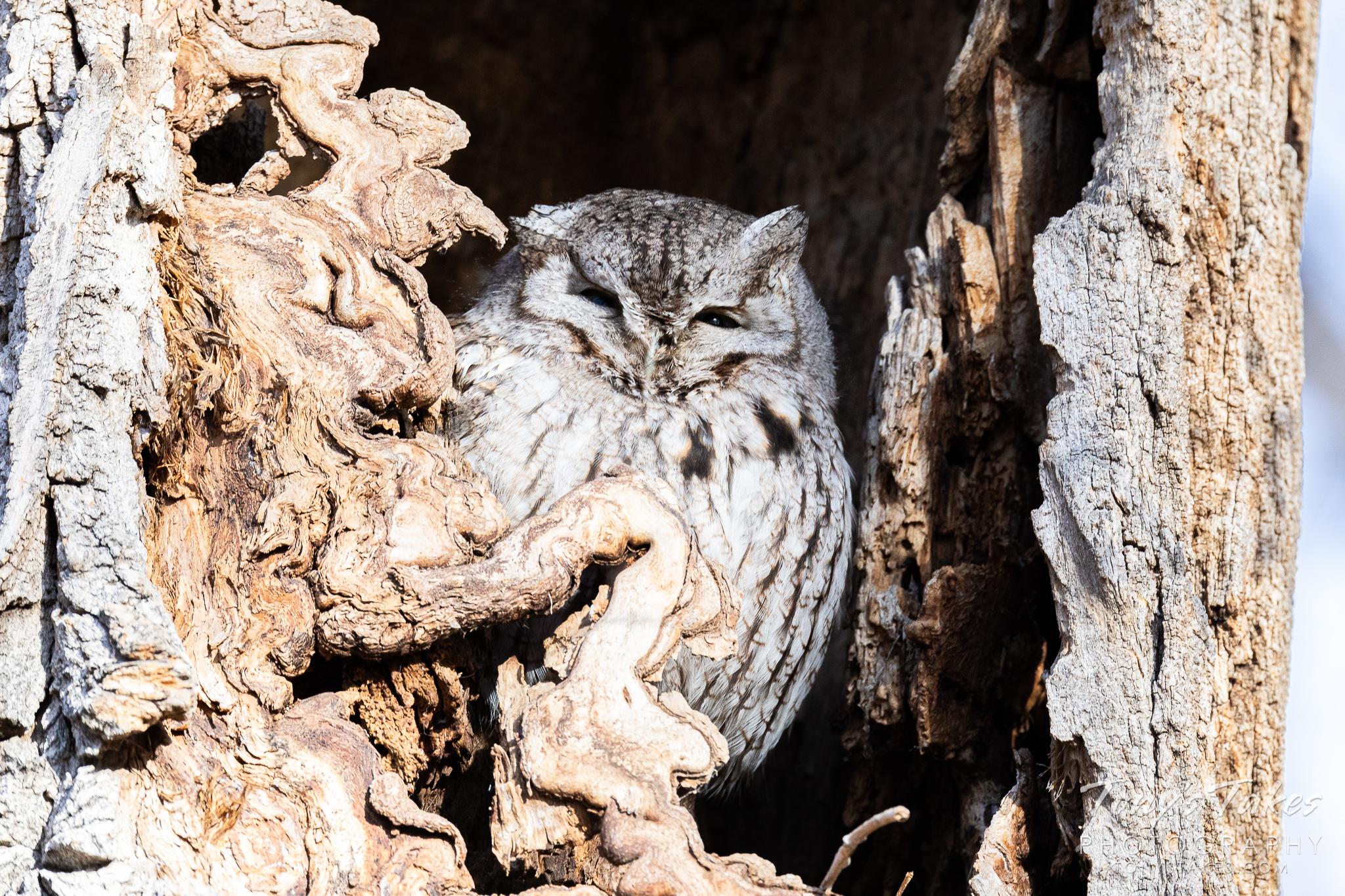Little screech owl sneaks a peek