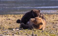 Brown Bear nursing her cub
