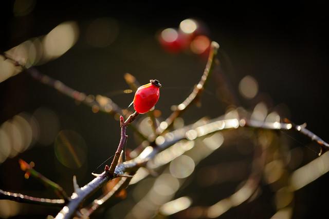 Rosehip red
