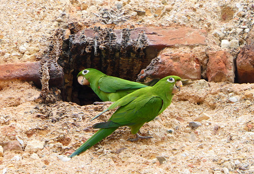 Hispaniolan Parakeet (Psittacara chloropterus)
