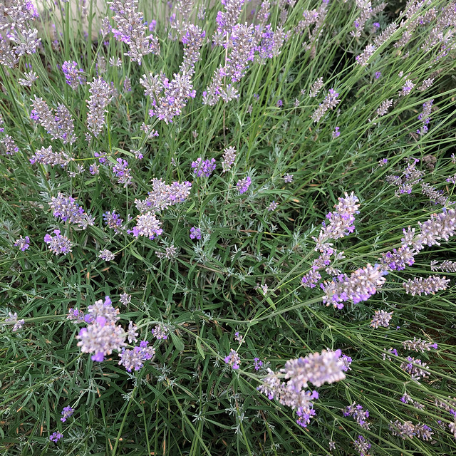 24/366 lavender