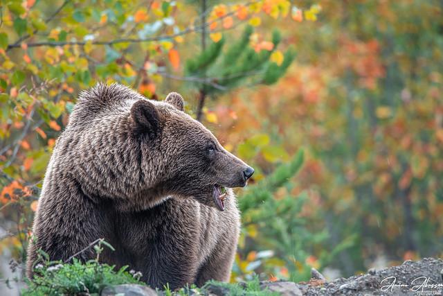 Grizzly Bear Kitwancool Lake BC