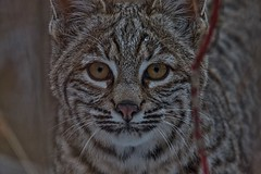 Bobcat (older picture)