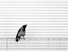 Krähe am Fenster
