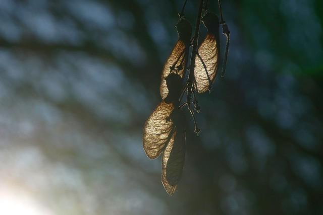 Geflügelte Frucht