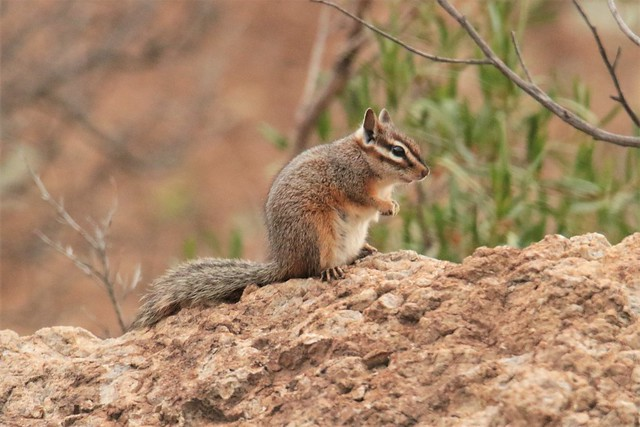 Rocky Terrain, Perfect for a Cliff Chipmunk (Tamias dorsalis)