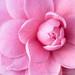 Pink Camellia (II), 1.8.20