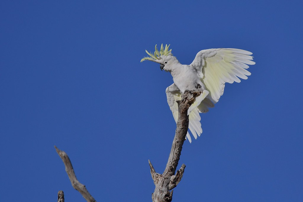 Sulphur-crested Cockatoo ( all with balance )