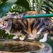 Hemmingway's cat #1