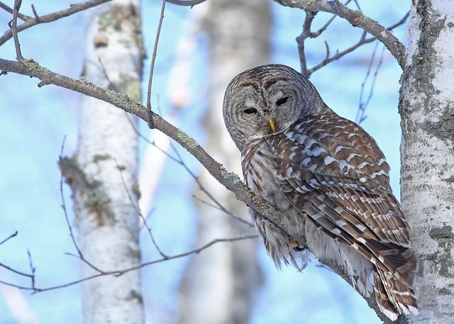 Barred Owl...#13