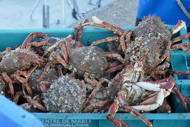 La pêche du jour, appétissantes araignées, port de Carteret, Barneville-Carteret, Cotentin, Manche, Normandie, France.