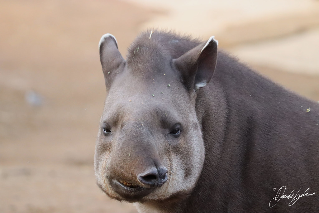 Funny Tapirus terrestris
