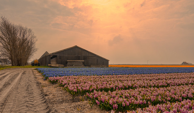 Dutch barn babysitting the flowers.