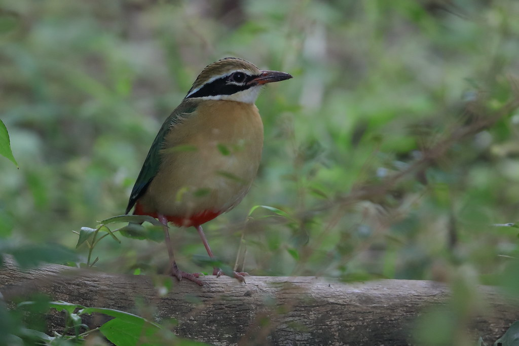 Indian Pitta   Pitta brachyura