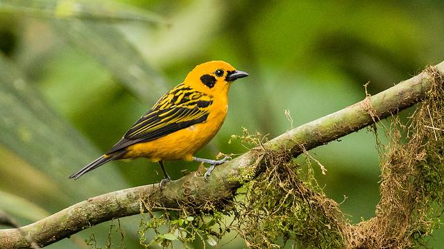 0P7A2037   Golden Tanager, Ecuador