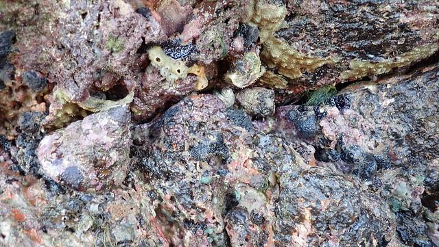 Giant top shell snail (Tectus niloticus)