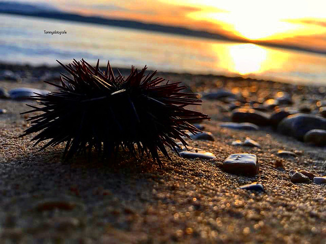 Sea urchin after a storm on the beach in sunsetlight, photo taken in Igrane, Croatia