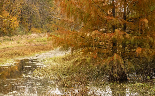 Cypress Tree in the Fall