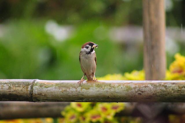 Sparrows bring food