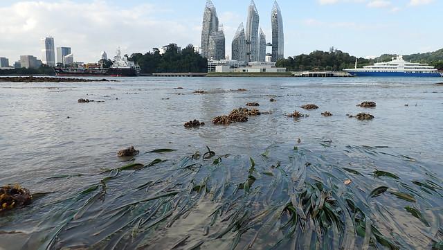 Tape seagrass (Enhalus acoroides)