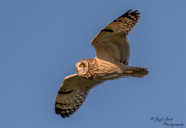 DSC3979  Short eared Owl..