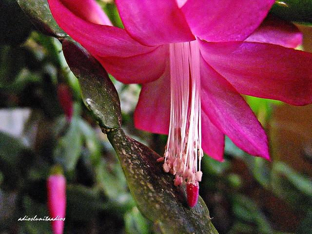 Flor cactus de invierno