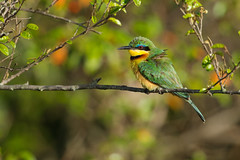Little Bee-eater