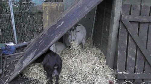 Lean to goat shelter Jan 20
