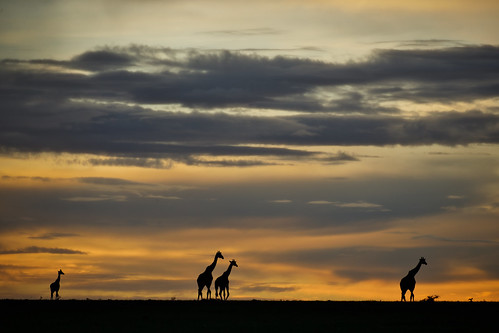 masai mara sunset sunrise silhouette africa safari kenya afrika masaimara