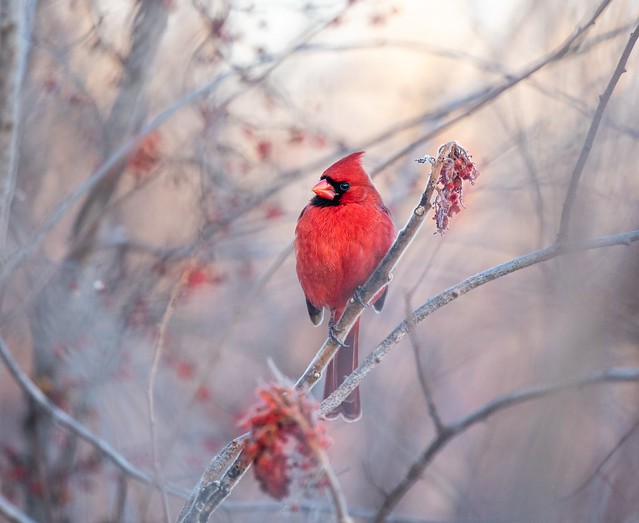 Male Cardinal with berries