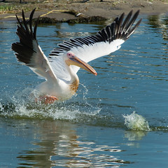 Pelican Uganda