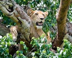 Tree lion Uganda
