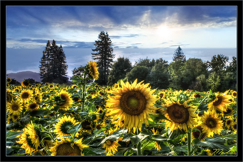 Late Afternoon Sunflowers