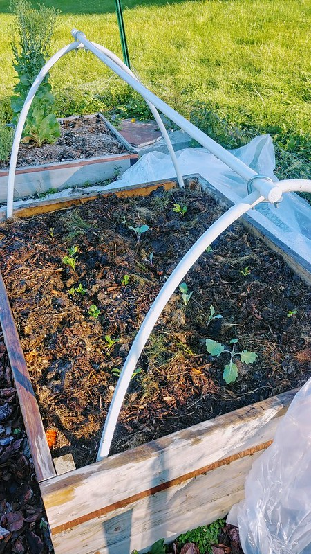 """PVC Low Tunnel - ribs secured by 12"""" rebar in garden bed"""
