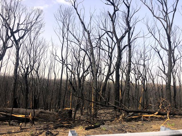 Burnt trees - Sassafras, NSW