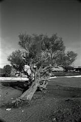 Tilting Tree (IMG_0032mod)