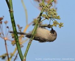 Bushtit migrating Fall