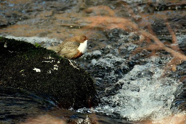 DSC_7527 Wasseramsel  -  Dipper