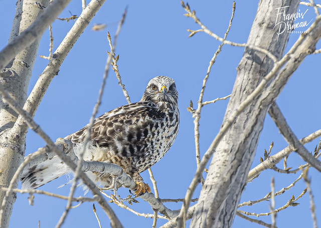 Buse pattue - Rough-legged Hawk (Buteo lagopus)