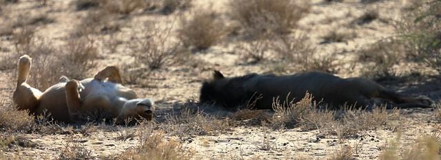 Lion. Kgalagadi Transfrontier Park/ Kalahari Desert. South Africa. Nov/2019