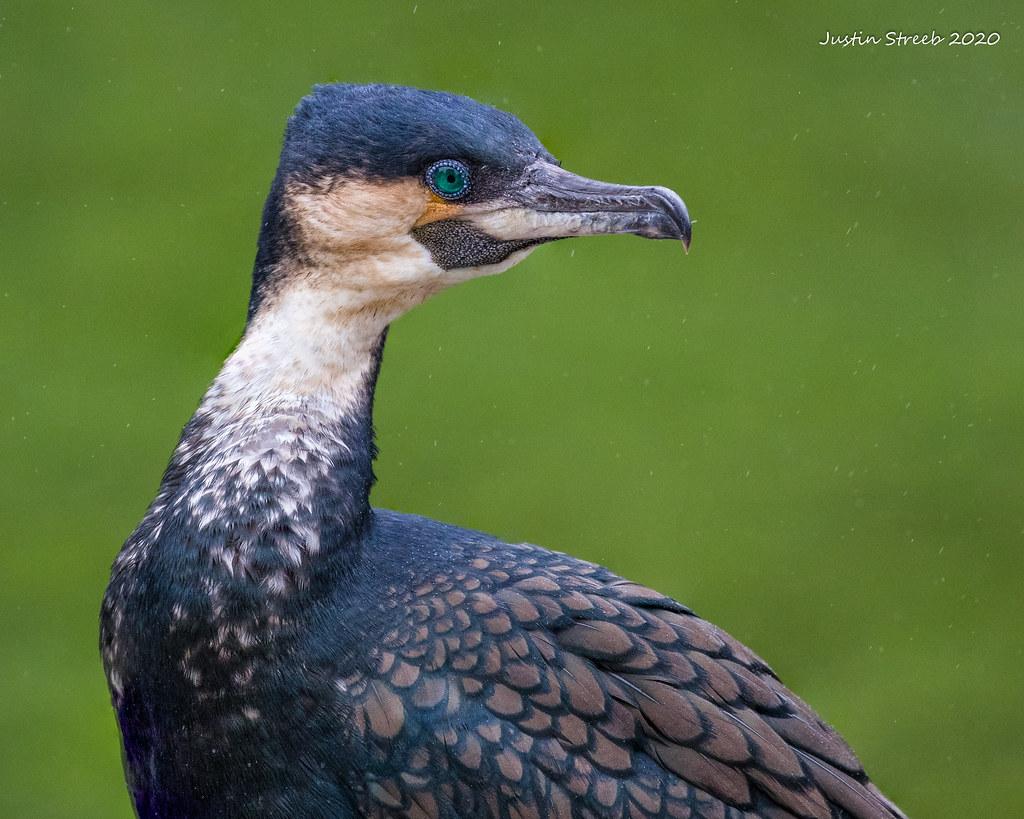 Cormorant In The Rain 2