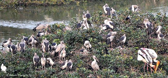 A Flourishing breeding colony of Asian openbill stork