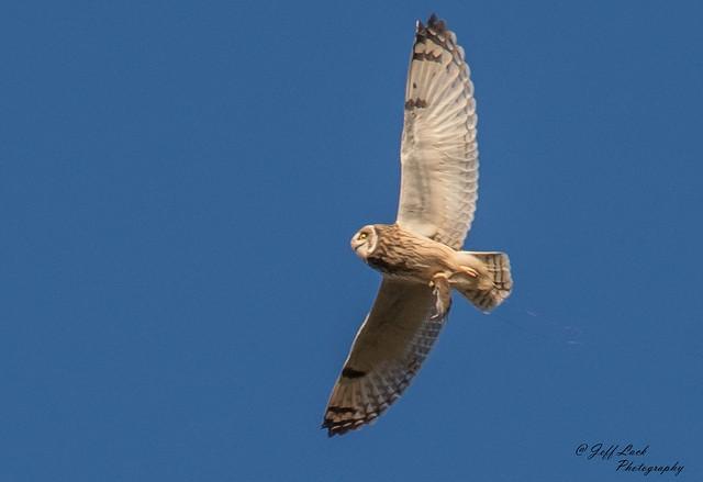 DSC4234  Short eared Owl..