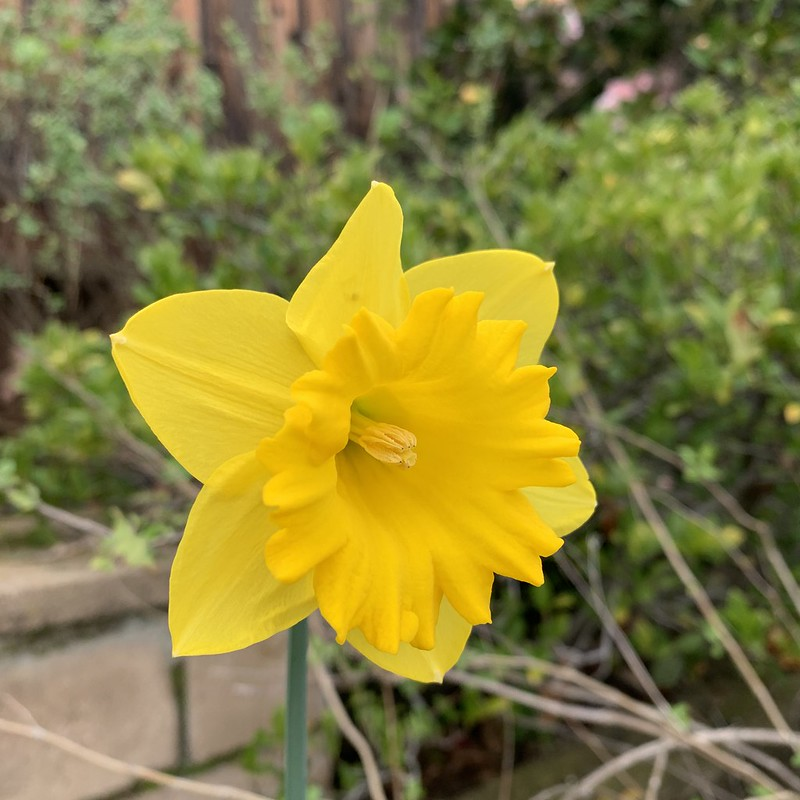 First daffodil 2020