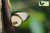 Elymnias agonda melanippe  form ♀