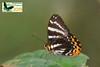 Praetaxila satraps ♂